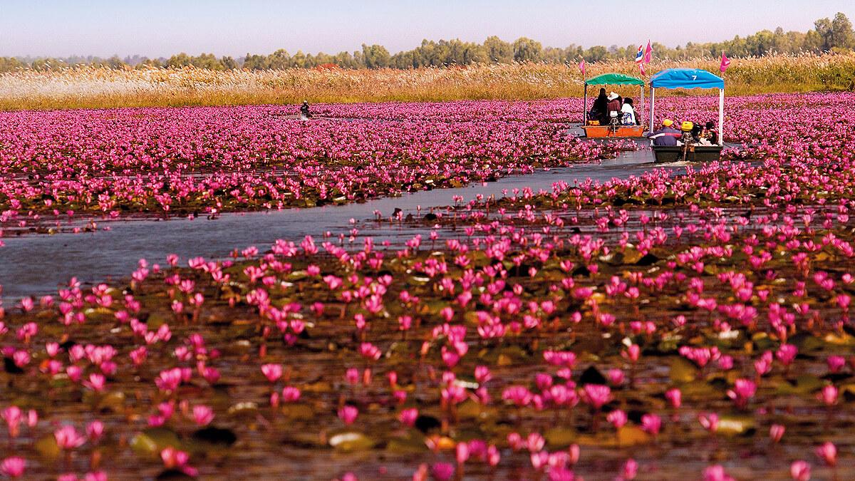 Nong Han Kumphawapi lake, Nong Han Kumphawapi lake in Thailand, Thailand, Pink water lilies lake, pink water lilies lake in thailand